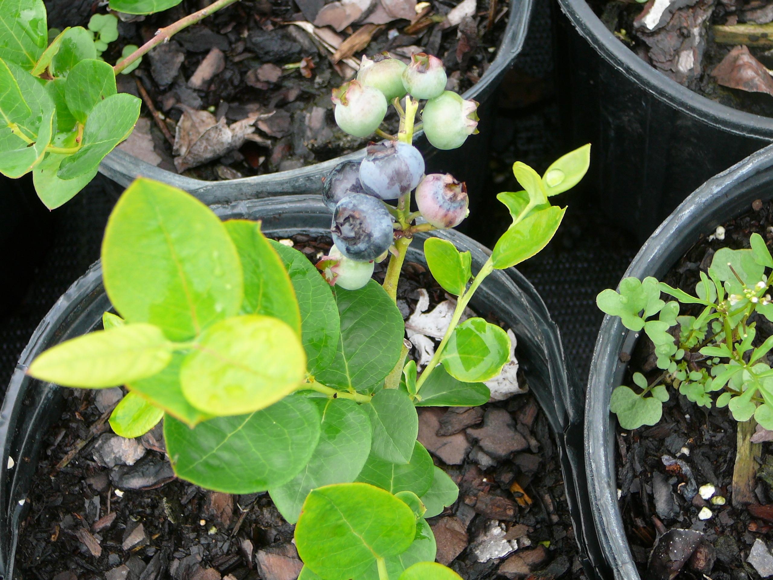 Blueberries 009 (2)